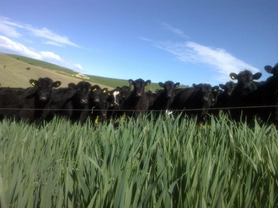 Coronet forage oats | Agricom NZ