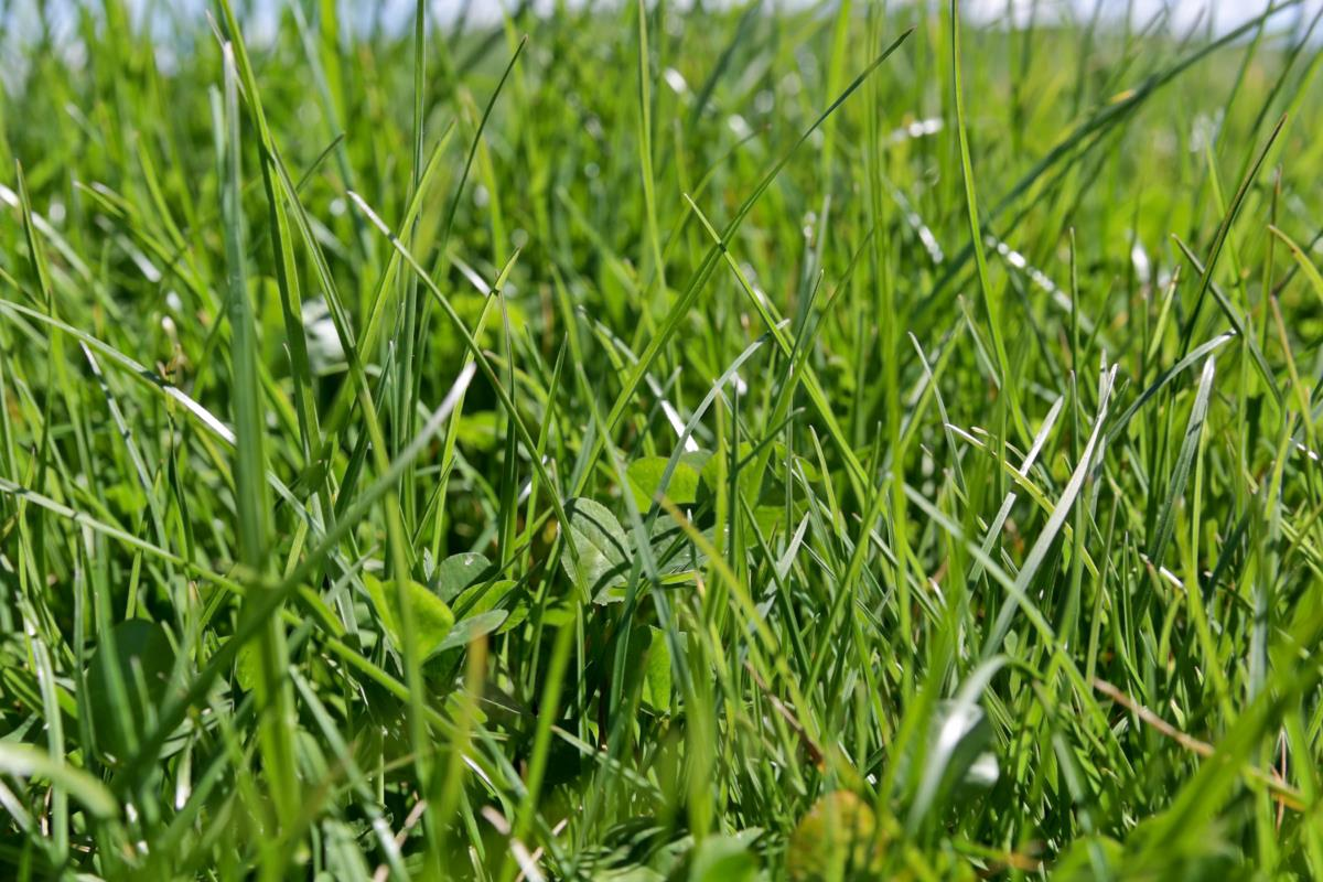 ONE50 perennial ryegrass