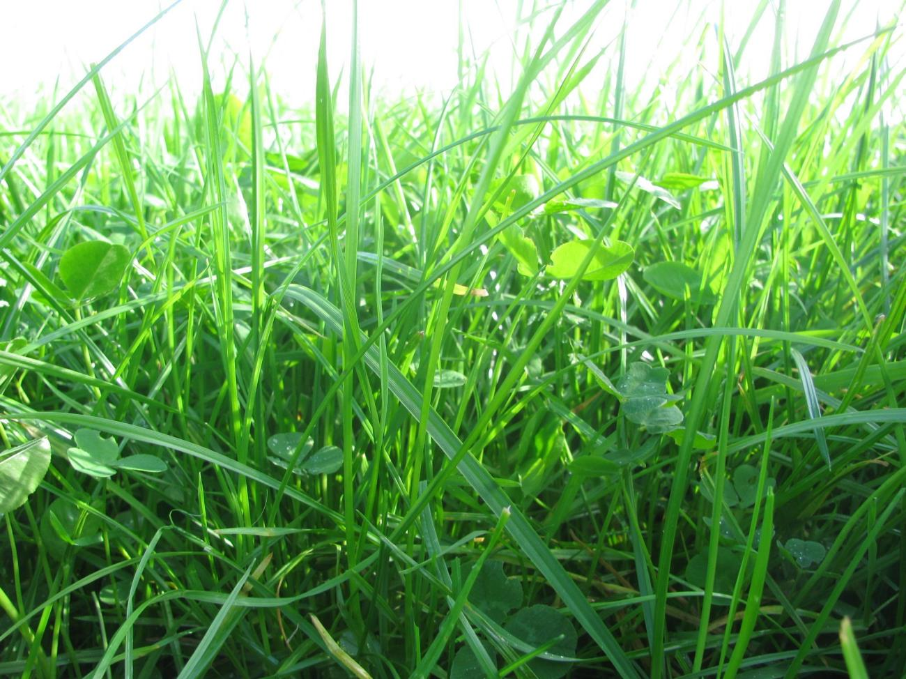 Request Perennial Ryegrass