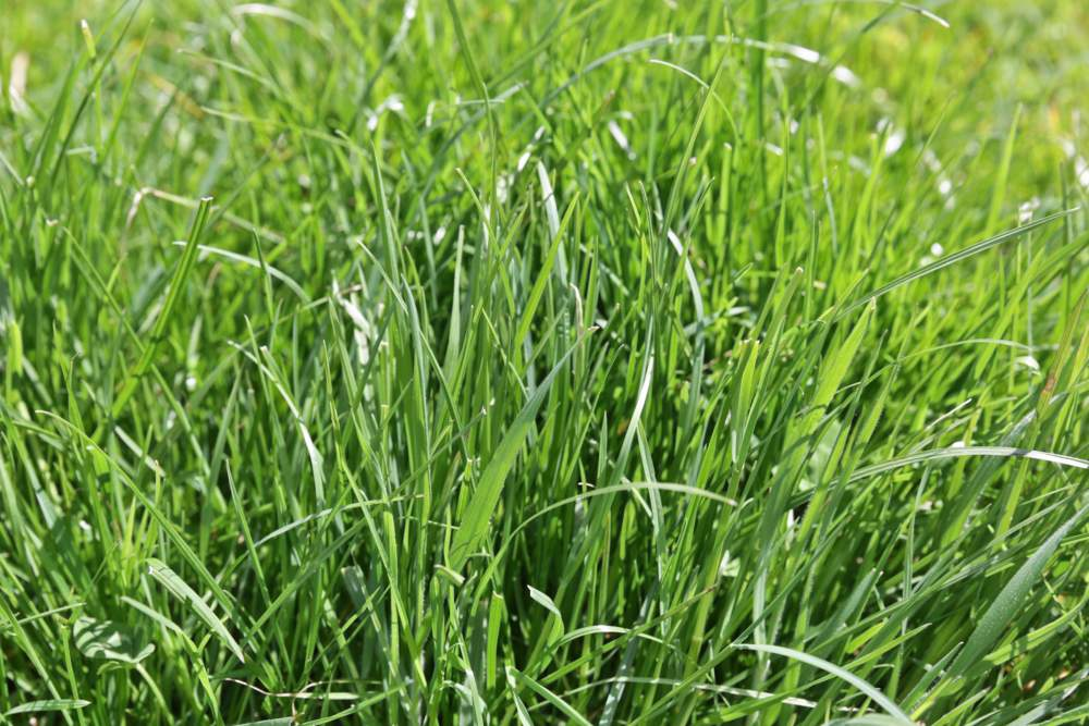 Supreme long rotation ryegrass